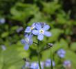 Flowers forget-me (Myosotis)