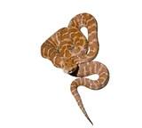 Venomous snake 11 poster