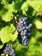 blaue Weintrauben - Bodensee (2)