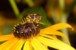preening honeybee on a black-eyed susan