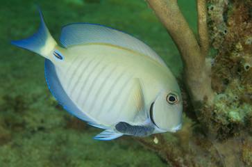 Doctorfish-Acanthurus chirirgus