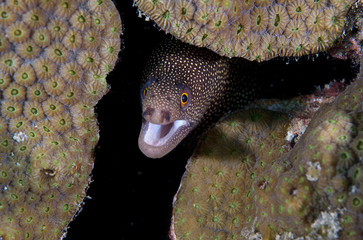 Goldentail Moray-Gymnothorax miliaris