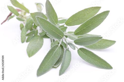 Salbei (Salvia officinalis) - liegend auf weiß