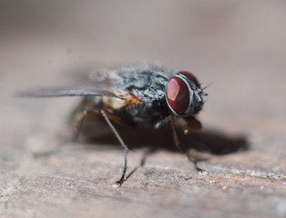 lazy fly of close up. isolated