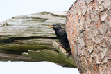 Starling in Summer Plumage Looking Out From Pine Tree poster