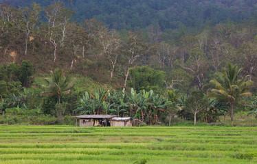 Padi field in Timor Leste