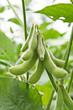 soy bean plant - 25295629
