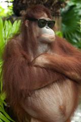 Orang Utan mit Sonnenbrille
