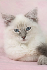 beautiful ragdoll kitten