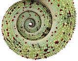 queue de caméléon, reptile de la Réunion,  fond blanc poster