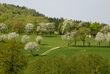 Kirschbaumblüte in Hagen, Niedersachsen, Germany
