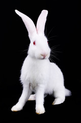 White Rabbit with long ears
