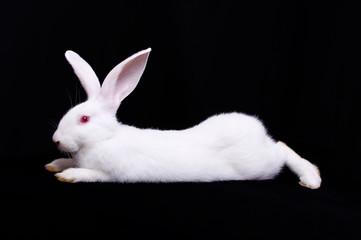 White Rabbit One