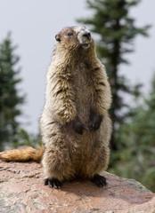 Hoary Marmot posing