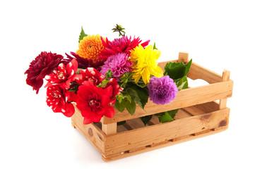 Crate colorful Dahlias