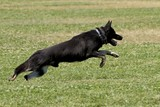 German Shepherd Sprinting