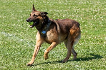 Long Hair Malinois
