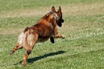 Malinois Running