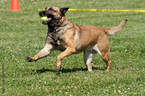 Malinois with a Ball