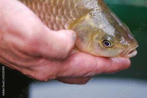 Karausche (Carassius carassius) seltene Fischart