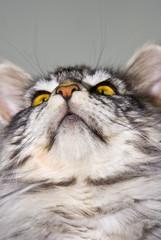 porträt einer maine coon katze