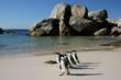 African Penguins at Boulders - 25329612
