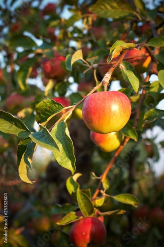 Fresh apple on tree