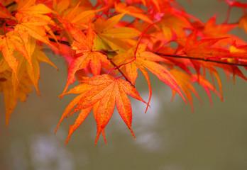 Herbstlaub, Japan