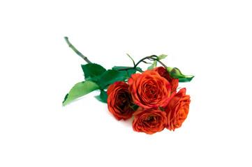 terracotta rose isolated over white