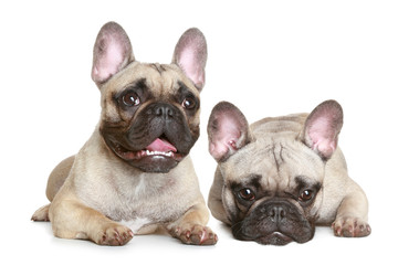 two French bulldog puppy