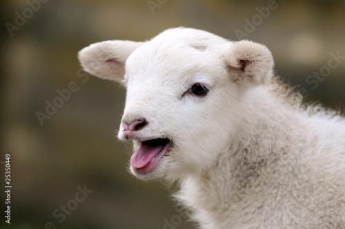 Blökendes Lamm