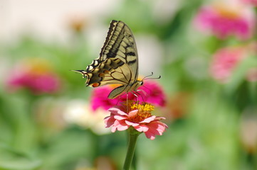 Papilio Machaon -3