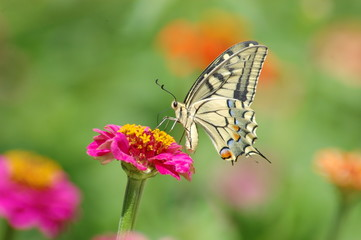 Papilio Machaon -5