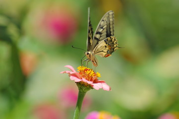 Papilio Machaon -6