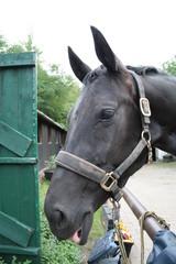 Pferd mit Zunge