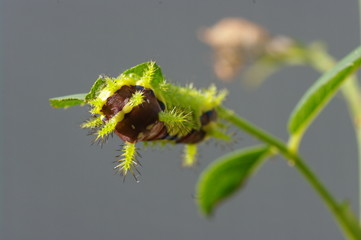 食い荒らすイラガの幼虫