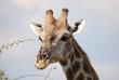 Giraffe im Portrait
