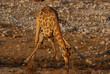 Giraffe beim Trinken