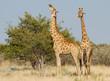 Giraffen beim Äsen