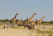 Giraffen und Zebras in Etoscha