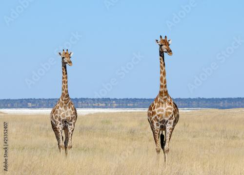 Giraffen - Etoscha