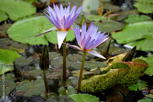 Purple water lilys