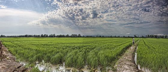 arroz en panoramica