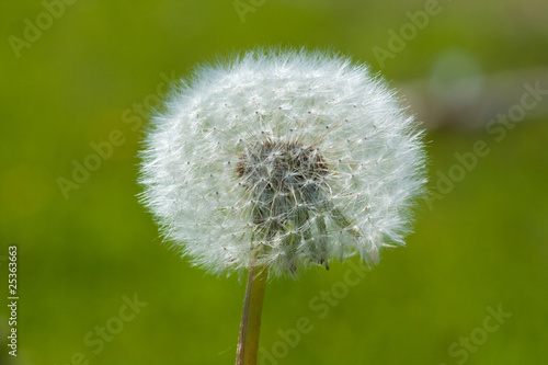 Dandelion on green backgoud