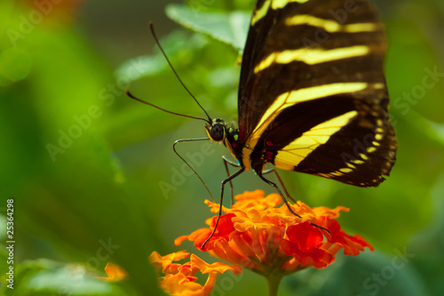 Zebra Longwing (heliconius charithonia) butterfly in nature