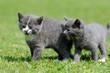 Zwei graue Kätzchen