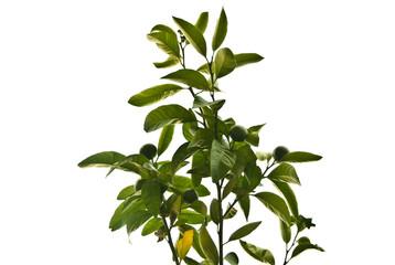 Green mandarins on a tree