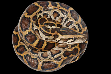 boa snake isolated
