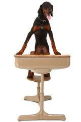 Doberman Puppy in School Desk