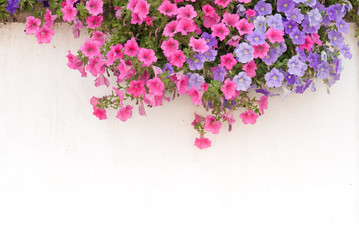 Petunias and white wall